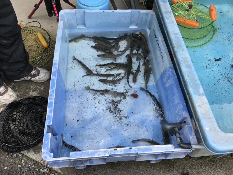 朽木渓流魚センターでの釣果
