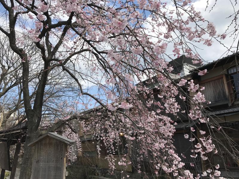 祇園白川あたりの桜