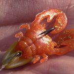 チニング用ワーム「ちびチヌ蟹」