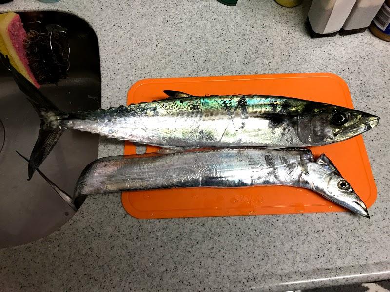 西宮ケーソンで釣れたサゴシとタチウオ