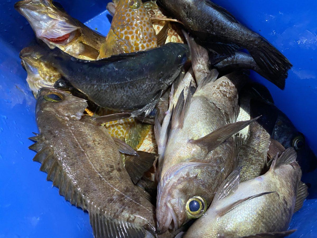 メバルやアコウなどが大漁!